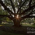 Live Oak With Early Morning Light by Kelly Morvant