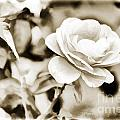 Live Yellow Rose Flower Painting In Sepia 3229.01 by M K Miller
