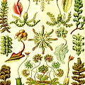 Liverworts Moss Brunnenlebermoos Haeckel Hepaticae by Movie Poster Prints