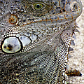 Lizard by Bob Slitzan