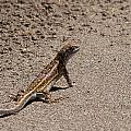 Lizard by Carlos V Bidart
