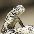 Lizard On The Rocks by Luna Curran