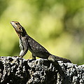 Lizard On The Wall by Christiane Schulze Art And Photography