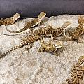 Lizards by Photographic Art by Russel Ray Photos