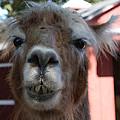 Llama After A Rough Night by John Telfer