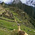 Llama At Machu Picchu by Chris Caldicott