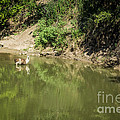 Llama Cooling Off In River by Imagery by Charly