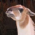 Llama by Ellen Henneke