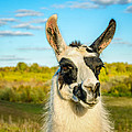 Llama Portrait by Steve Harrington