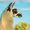 Llama Profile by Steve Harrington