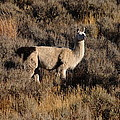 Llama by Richard Cheski