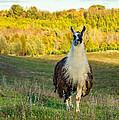 Llama by Steve Harrington