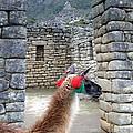 Llama Touring Machu Picchu by Barbie Corbett-Newmin