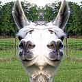 Llama  Fun Head Games by Belinda Lee
