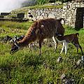 Llama Ya Mama by Xueling Zou