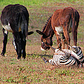 Lmao  Mules And Zebra - Featured In Wildlife Group by Ericamaxine Price