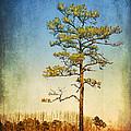 Loblolly Pine Along The Chesapeake by Carolyn Derstine