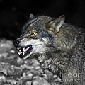 Lobo by Angel Ciesniarska