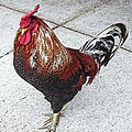 Local Downtown Rooster by Nancy Chenet