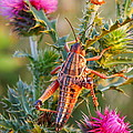 Locust And Thistle 2am-110423 by Andrew McInnes