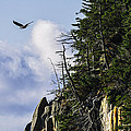 Lofty Bald Eagle Surveys Maines Bold Coast by Marty Saccone