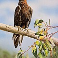Lofty Visions - Wedge-tailed Eagle by Frances McMahon