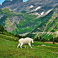 Logan Pass Mountain Goat by Greg Norrell