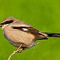 Loggerhead Shrike by Jeff Goulden