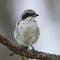 Loggerhead Shrike by Kenneth Blye