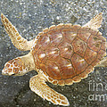 Loggerhead Turtle by Millard H. Sharp