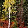 Lone Aspen In Fall by Chad Dutson