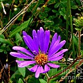 Lone Aster by CapeScapes Fine Art Photography