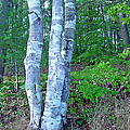 Lone Birch In The Maine Woods by Suzanne Gaff