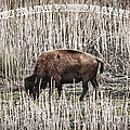 Lone Buffalo by Barbara Bowen