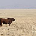 Lone Bull In Grassy Field by B Christopher