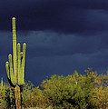 Lone Cactus Sentry by Douglas J Fisher