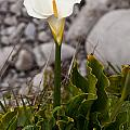 Lone Calla Lily by Melinda Ledsome