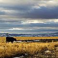 Lone Cow Against A Stormy Montana Sky. by Dana Moyer