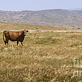 Lone Cow In Grassy Field by B Christopher