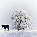 Lone Cow by Les McLuckie