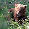 Lone Cub by Bill Singleton