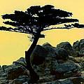 Lone Cypress Companion by Barbara Snyder