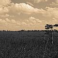 Lone Cypress II by Gary Dean Mercer Clark