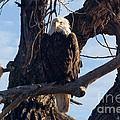 Lone Eagle by Bob Hislop