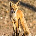 Lone Fox by Brian Williamson