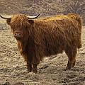 Lone Highland Cow by Duncan Mackie