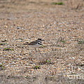 Lone Killdeer by Maria Urso