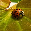Lone Lady Bird Beetle by Douglas Barnett