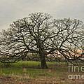 Lone Oak - Spring by Dan Hefle