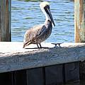 Lone Pelican On Pier by Carol Groenen